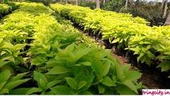 Vijaya Hamsa Nursery Gardens